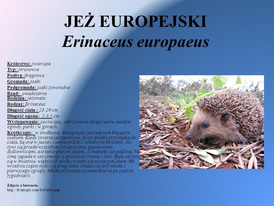 JEŻ EUROPEJSKI Erinaceus europaeus Królestwo: zwierzęta Typ: strunowce Podtyp :kręgowce Gromada: ssaki Podgromada: ssaki żyworodne Rząd: owadożerne Ro