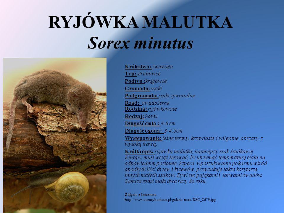 RYJÓWKA MALUTKA Sorex minutus Królestwo: zwierzęta Typ: strunowce Podtyp :kręgowce Gromada: ssaki Podgromada: ssaki żyworodne Rząd: owadożerne Rodzina