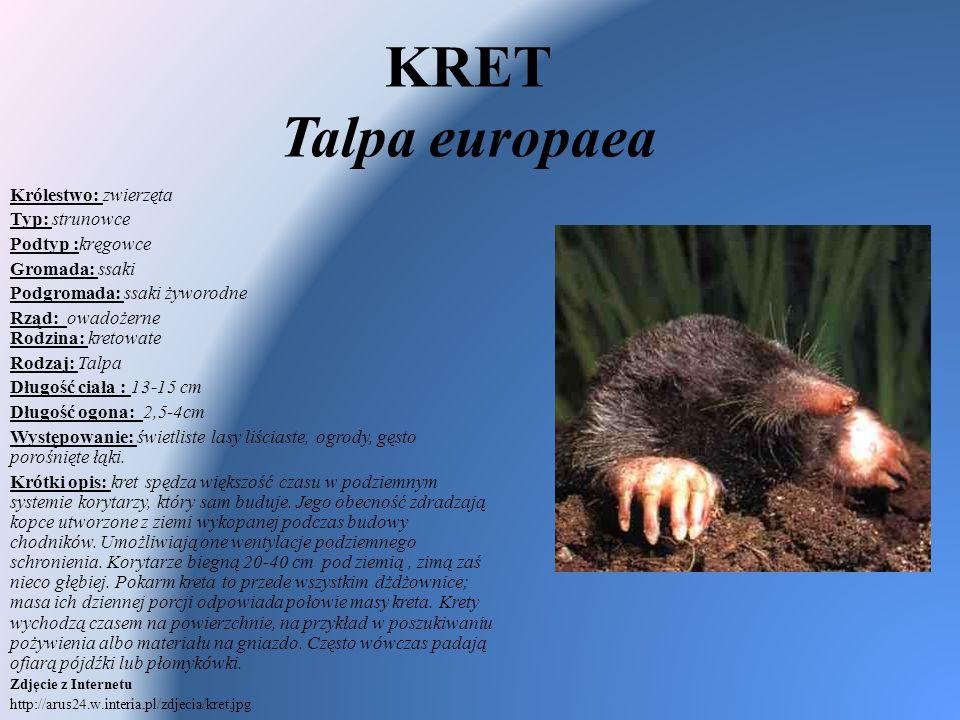 KRET Talpa europaea Królestwo: zwierzęta Typ: strunowce Podtyp :kręgowce Gromada: ssaki Podgromada: ssaki żyworodne Rząd: owadożerne Rodzina: kretowat