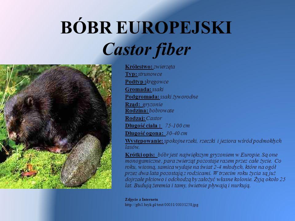 BÓBR EUROPEJSKI Castor fiber Królestwo: zwierzęta Typ: strunowce Podtyp :kręgowce Gromada: ssaki Podgromada: ssaki żyworodne Rząd: gryzonie Rodzina: b