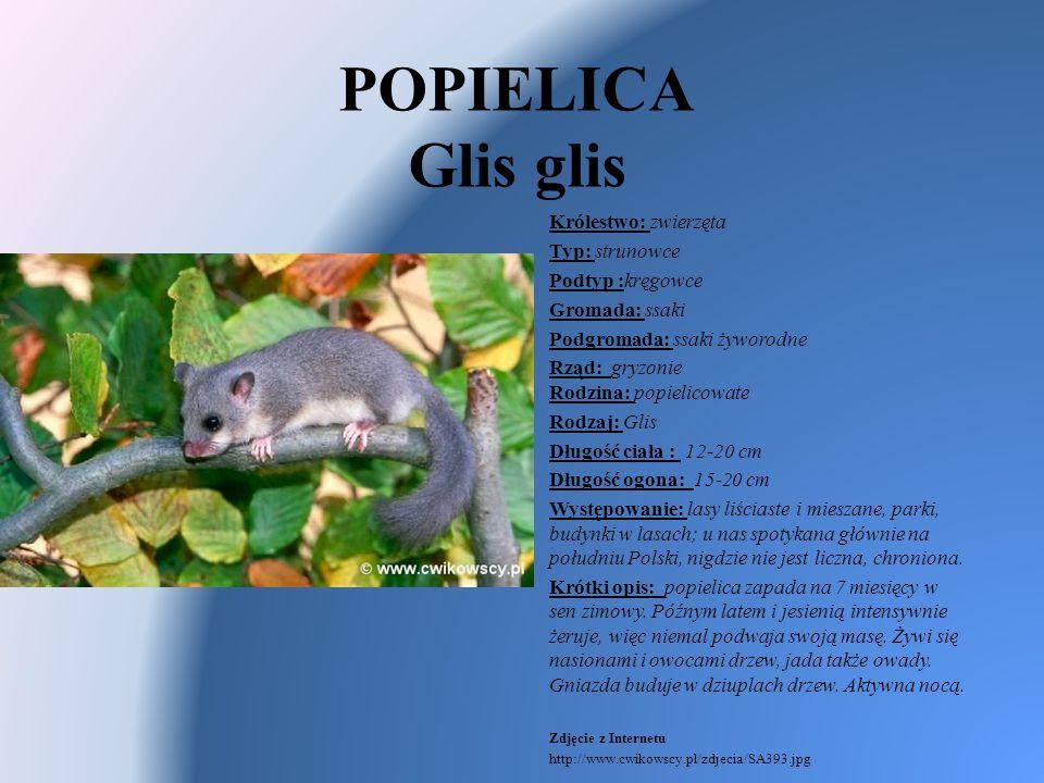 POPIELICA Glis glis Królestwo: zwierzęta Typ: strunowce Podtyp :kręgowce Gromada: ssaki Podgromada: ssaki żyworodne Rząd: gryzonie Rodzina: popielicow