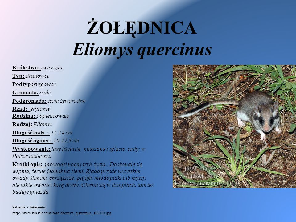 ŻOŁĘDNICA Eliomys quercinus Królestwo: zwierzęta Typ: strunowce Podtyp :kręgowce Gromada: ssaki Podgromada: ssaki żyworodne Rząd: gryzonie Rodzina: po