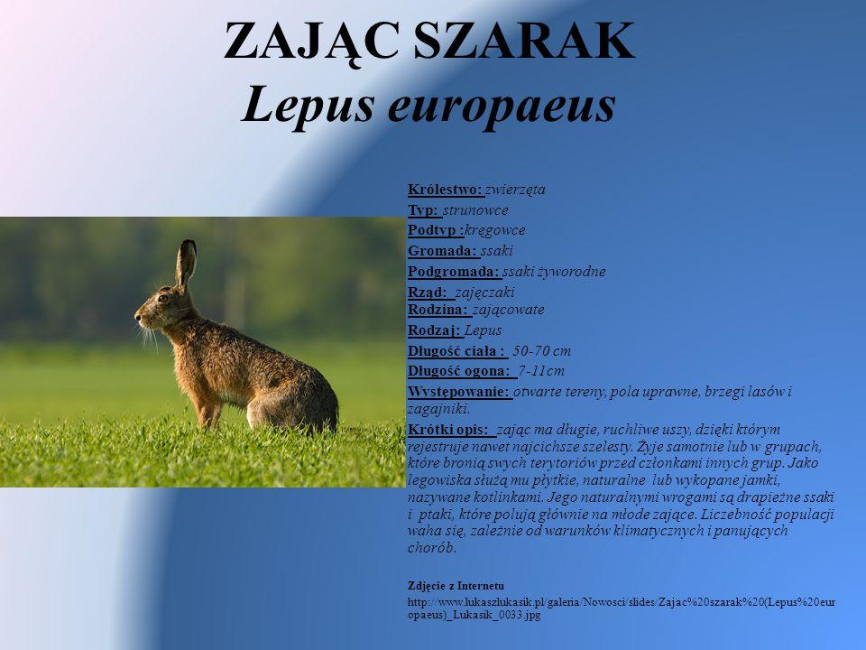 ZAJĄC SZARAK Lepus europaeus Królestwo: zwierzęta Typ: strunowce Podtyp :kręgowce Gromada: ssaki Podgromada: ssaki żyworodne Rząd: zajęczaki Rodzina: