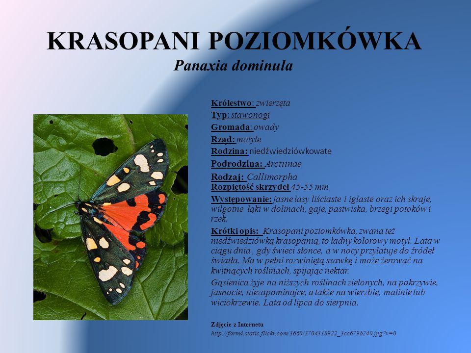 KRASOPANI POZIOMKÓWKA Panaxia dominula Królestwo: zwierzęta Typ: stawonogi Gromada: owady Rząd: motyle Rodzina: niedźwiedziówkowate Podrodzina: Arctii