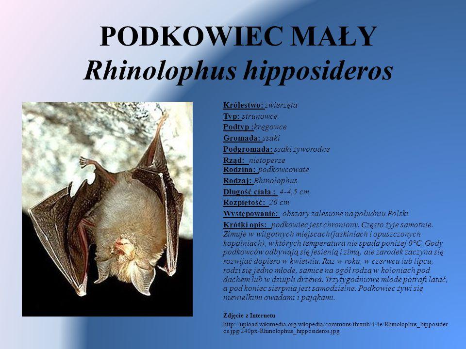 PODKOWIEC MAŁY Rhinolophus hipposideros Królestwo: zwierzęta Typ: strunowce Podtyp :kręgowce Gromada: ssaki Podgromada: ssaki żyworodne Rząd: nietoper