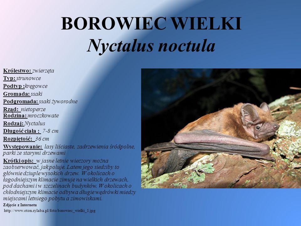 BOROWIEC WIELKI Nyctalus noctula Królestwo: zwierzęta Typ: strunowce Podtyp :kręgowce Gromada: ssaki Podgromada: ssaki żyworodne Rząd: nietoperze Rodz