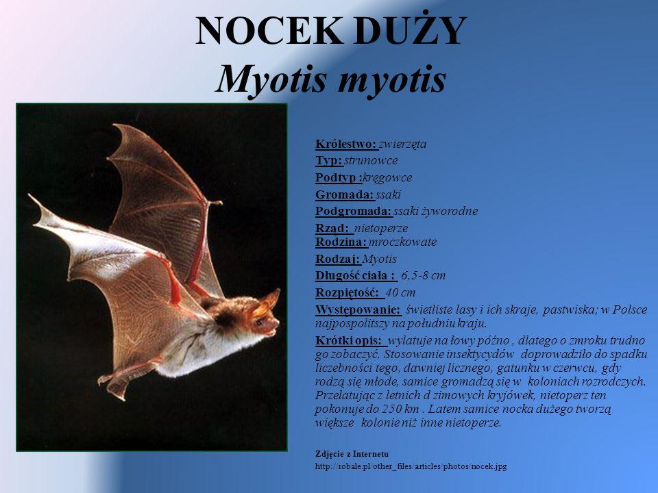 NOCEK DUŻY Myotis myotis Królestwo: zwierzęta Typ: strunowce Podtyp :kręgowce Gromada: ssaki Podgromada: ssaki żyworodne Rząd: nietoperze Rodzina: mro