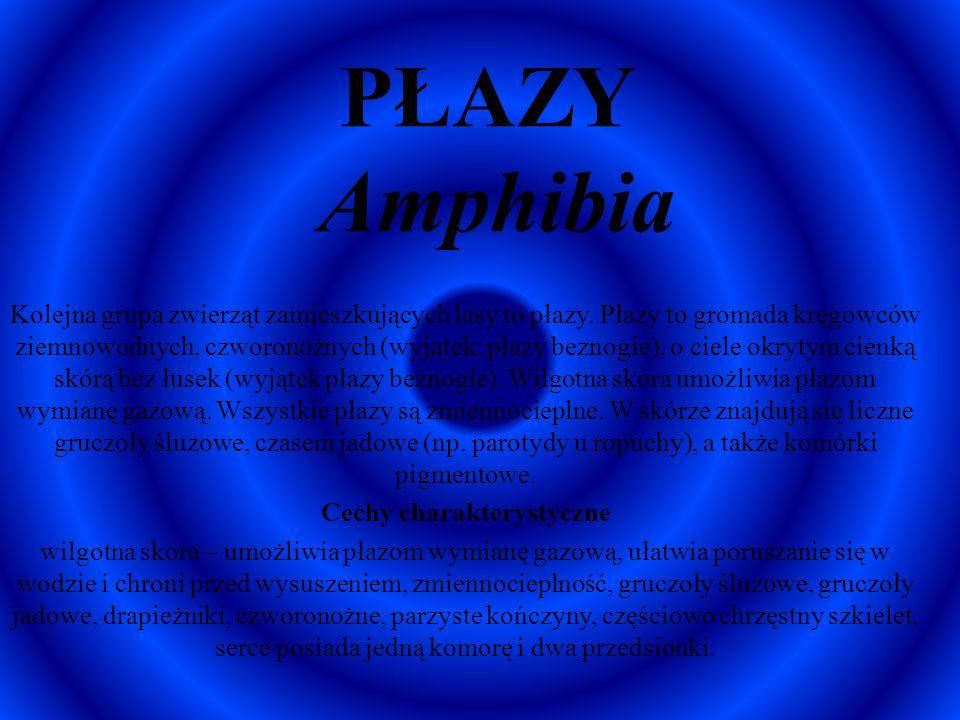 PŁAZY Amphibia Kolejna grupa zwierząt zamieszkujących lasy to płazy. Płazy to gromada kręgowców ziemnowodnych, czworonożnych (wyjątek: płazy beznogie)