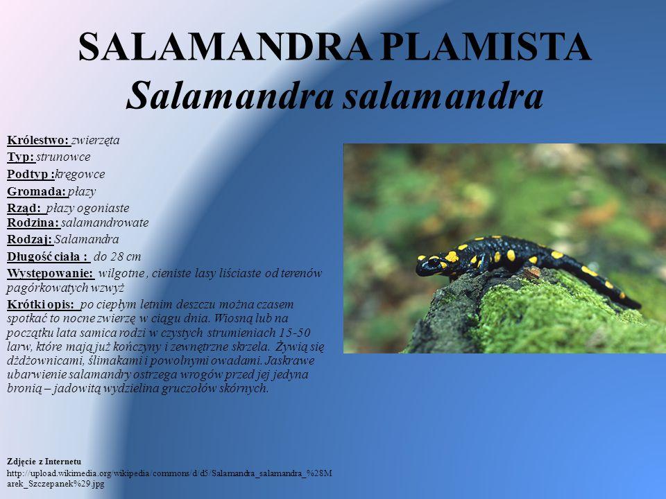 SALAMANDRA PLAMISTA Salamandra salamandra Królestwo: zwierzęta Typ: strunowce Podtyp :kręgowce Gromada: płazy Rząd: płazy ogoniaste Rodzina: salamandr