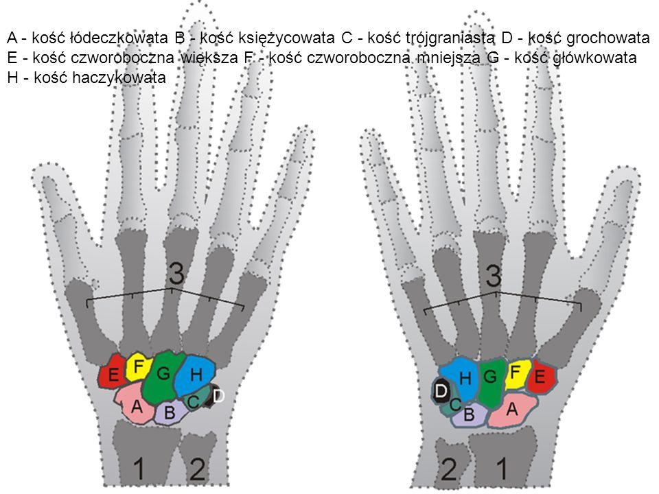 A - kość łódeczkowata B - kość księżycowata C - kość trójgraniasta D - kość grochowata E - kość czworoboczna większa F - kość czworoboczna mniejsza G