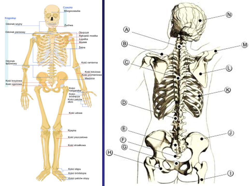 Kość krzyżowa - os sacrum powstaje przez zrośnięcie 5 kręgów krzyżowych.