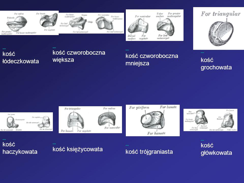 kość łódeczkowata kość czworoboczna większa kość czworoboczna mniejsza kość grochowata kość haczykowata kość księżycowata kość trójgraniasta kość głów