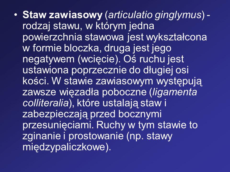 Staw zawiasowy (articulatio ginglymus) - rodzaj stawu, w którym jedna powierzchnia stawowa jest wykształcona w formie bloczka, druga jest jego negatyw