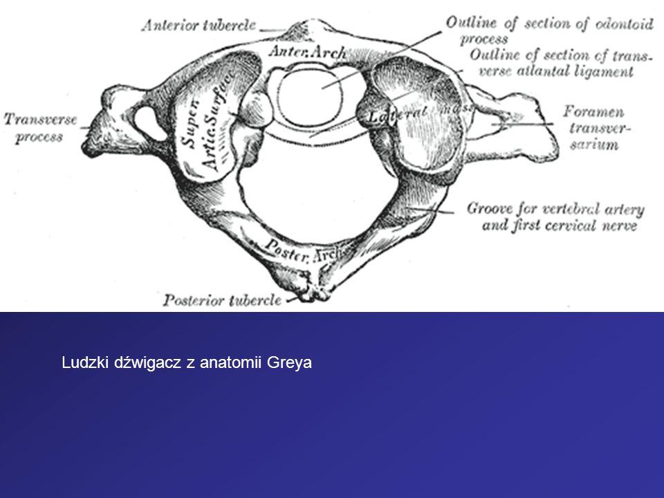 Ludzki dźwigacz z anatomii Greya