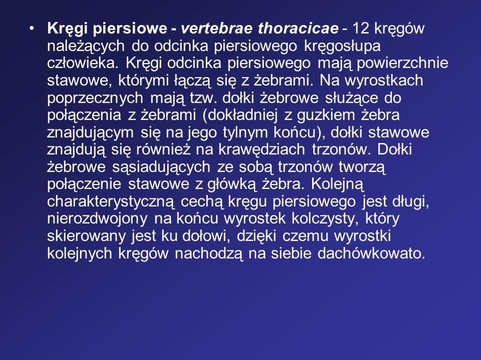 Kręgi piersiowe - vertebrae thoracicae - 12 kręgów należących do odcinka piersiowego kręgosłupa człowieka. Kręgi odcinka piersiowego mają powierzchnie