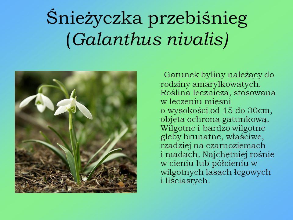 Rosiczka okrągłolistna ( Drosera rotundifolia) Gatunek byliny należący do rodziny rosiczkowatych. Roślina wieloletnia, owadożerna, drobna, wysokość do