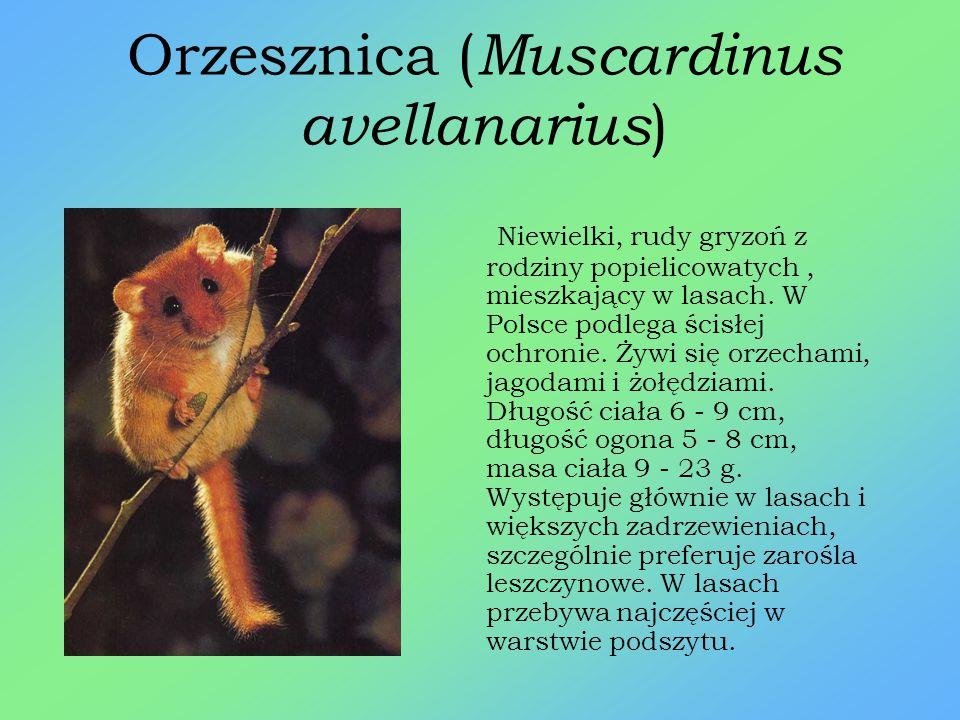 Popielica ( Glis glis ) Ssak z rodziny popielicowatych. Jest gatunkiem zagrożonym wyginięciem i znajduje się Polskiej Czerwonej Księdze zwierząt. Jest