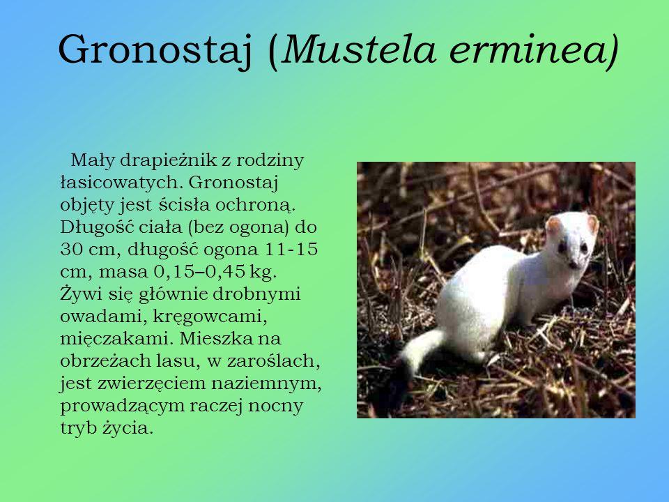 Orzesznica ( Muscardinus avellanarius ) Niewielki, rudy gryzoń z rodziny popielicowatych, mieszkający w lasach. W Polsce podlega ścisłej ochronie. Żyw