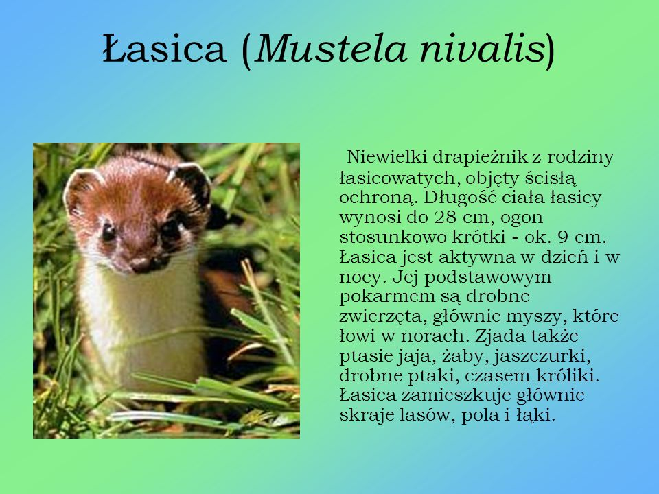 Gronostaj ( Mustela erminea) Mały drapieżnik z rodziny łasicowatych. Gronostaj objęty jest ścisła ochroną. Długość ciała (bez ogona) do 30 cm, długość