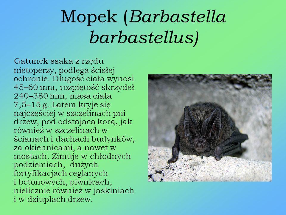 Łasica ( Mustela nivalis ) Niewielki drapieżnik z rodziny łasicowatych, objęty ścisłą ochroną. Długość ciała łasicy wynosi do 28 cm, ogon stosunkowo k