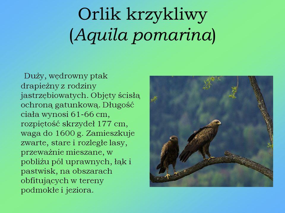 Bóbr europejski ( Castor fiber ) Ziemnowodny ssak z rzędu gryzoni. W Polsce jest gatunkiem chronionym. Długość ciała dorosłych osobników wynosi 70-100