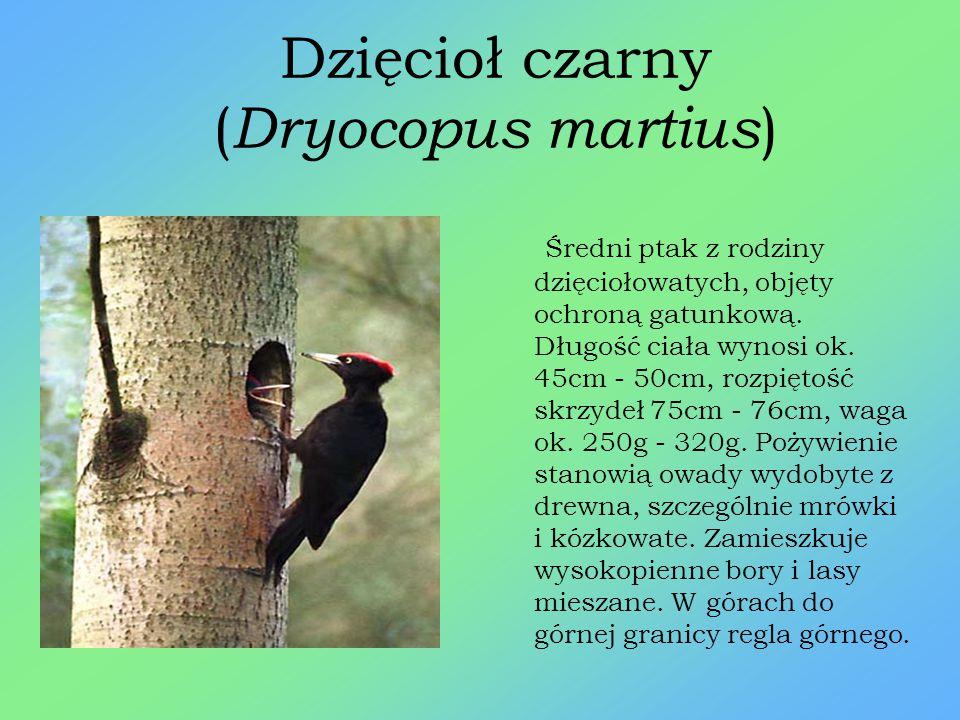 Orlik krzykliwy ( Aquila pomarina ) Duży, wędrowny ptak drapieżny z rodziny jastrzębiowatych. Objęty ścisłą ochroną gatunkową. Długość ciała wynosi 61