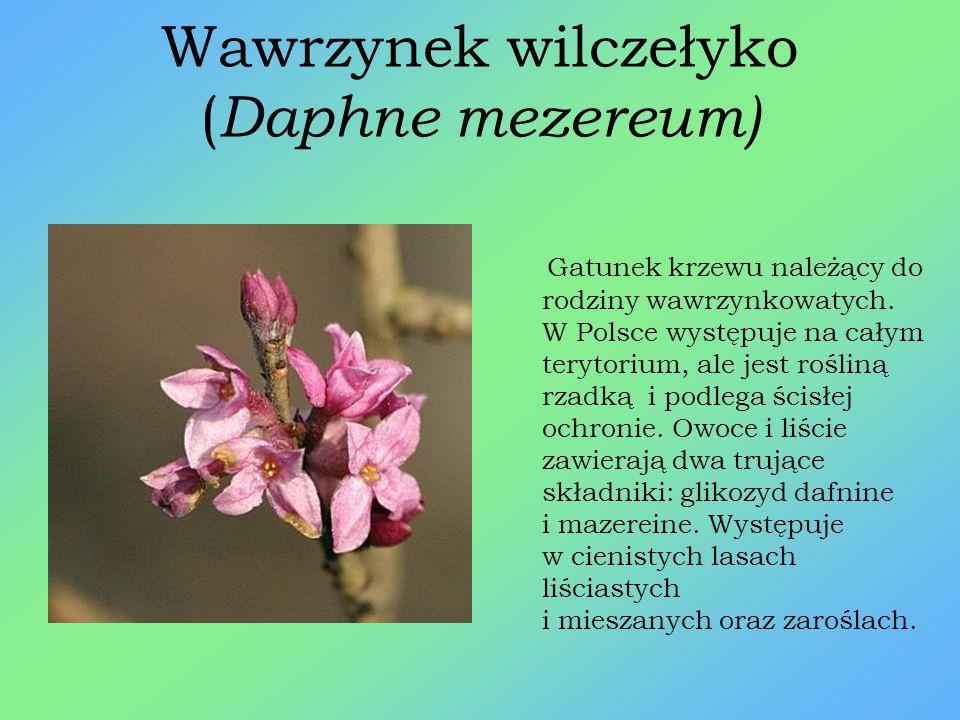 Pióropusznik strusi ( Matteucia struthiopteris ) Gatunek paproci z rodziny wietlicowatych, roślina wieloletnia. W Polsce podlega ścisłej ochronie, jes