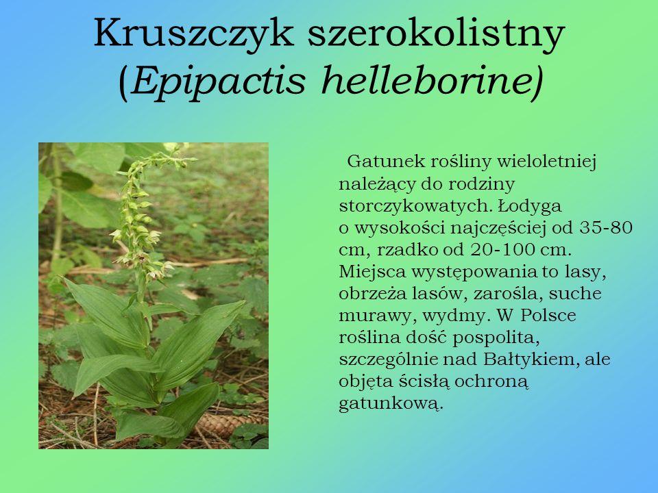 Lilia złotogłów ( Lilium martagon) Gatunek byliny z rodziny liliowatych, która objęta jest ochroną ścisłą. Wysoka od 40 do 150 cm. Roślina występuje w