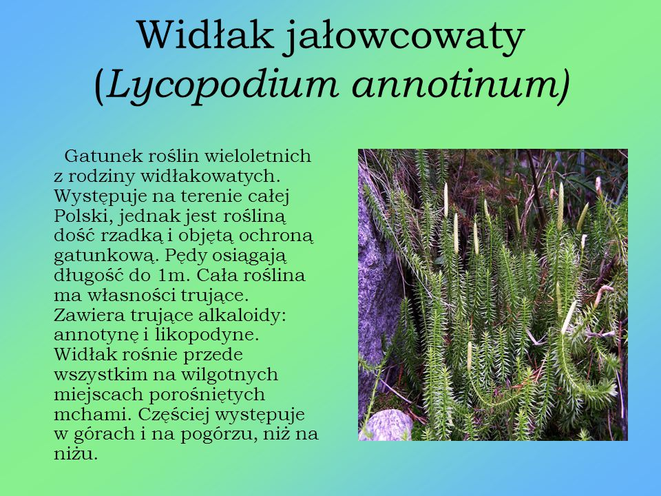 Kruszczyk szerokolistny ( Epipactis helleborine) Gatunek rośliny wieloletniej należący do rodziny storczykowatych. Łodyga o wysokości najczęściej od 3