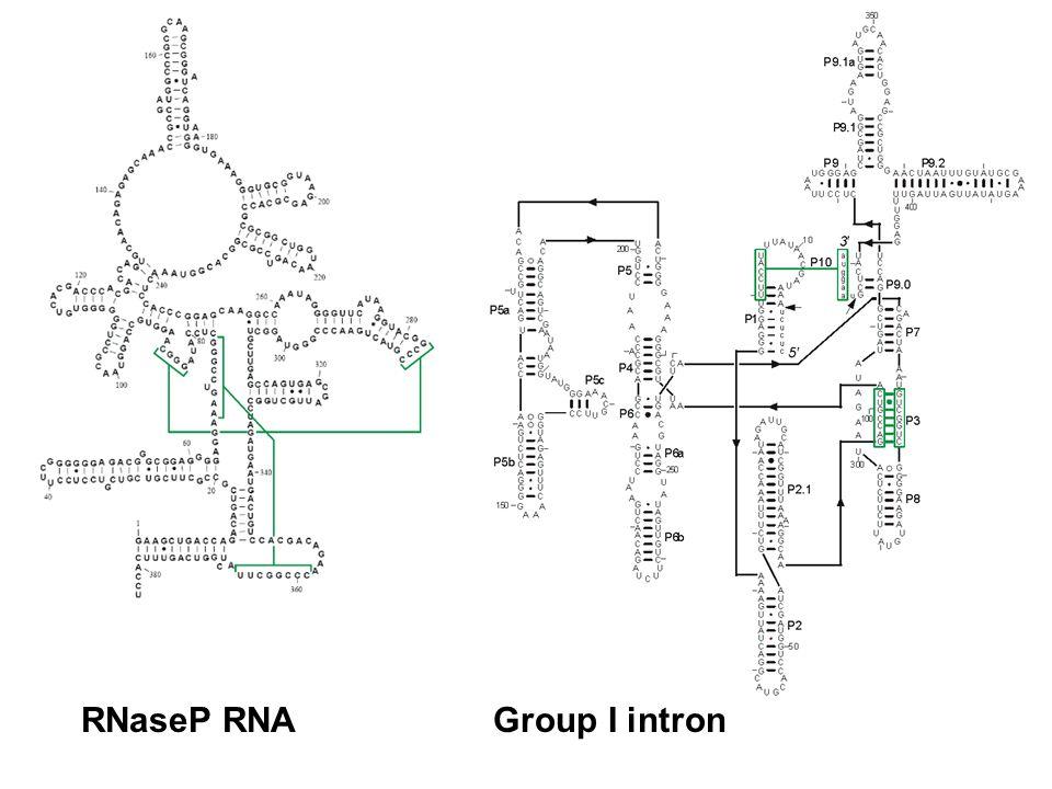 RNaseP RNAGroup I intron
