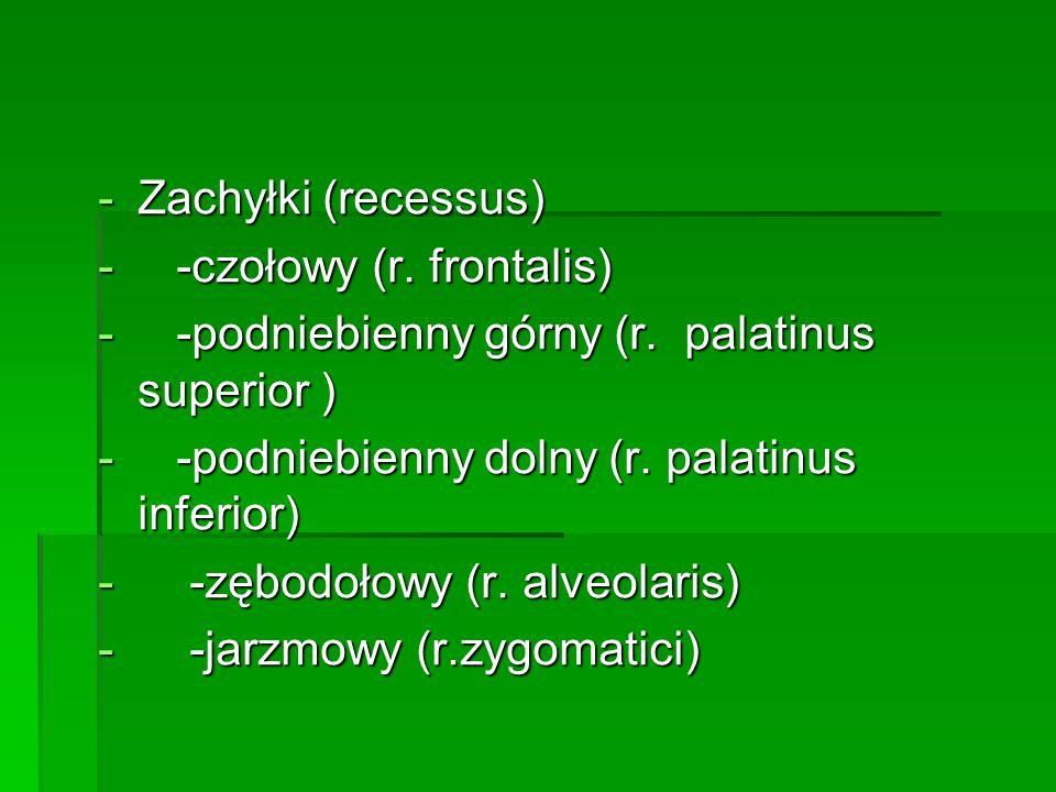 -Zachyłki (recessus) - -czołowy (r. frontalis) - -podniebienny górny (r. palatinus superior ) - -podniebienny dolny (r. palatinus inferior) - -zębodoł