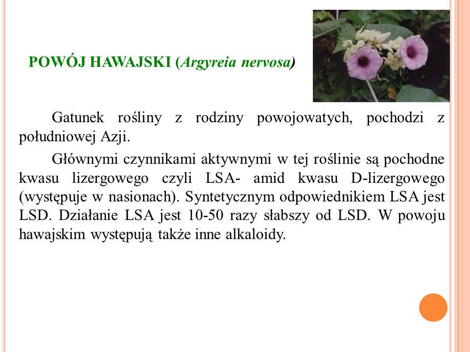 POWÓJ HAWAJSKI (Argyreia nervosa) Gatunek rośliny z rodziny powojowatych, pochodzi z południowej Azji. Głównymi czynnikami aktywnymi w tej roślinie są