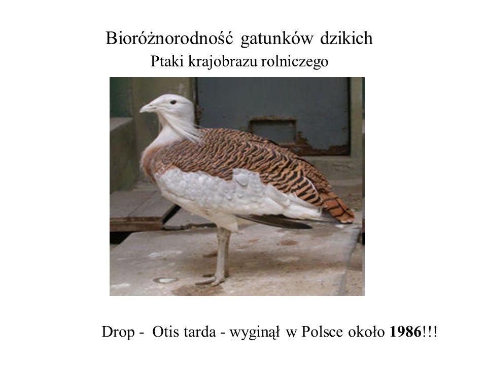Bioróżnorodność gatunków dzikich Ptaki krajobrazu rolniczego Drop - Otis tarda - wyginął w Polsce około 1986!!!