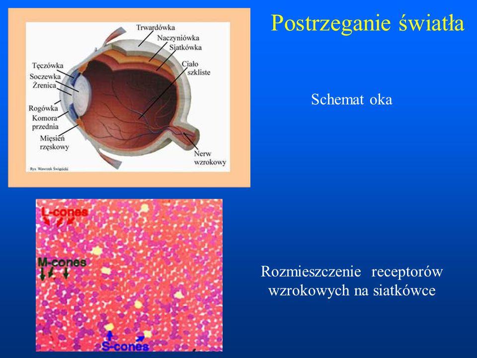 Postrzeganie światła Schemat oka Rozmieszczenie receptorów wzrokowych na siatkówce