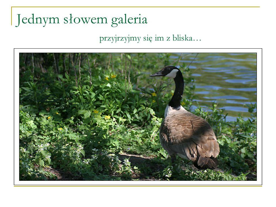 """Mówią o nim """"inny ptak"""" 10 maja 2007-tak piszą… W marcu br. na Bulwarze Zygmunta Augusta mieszkańcy Elbląga mogli obserwować, jak to usłyszałem od spa"""