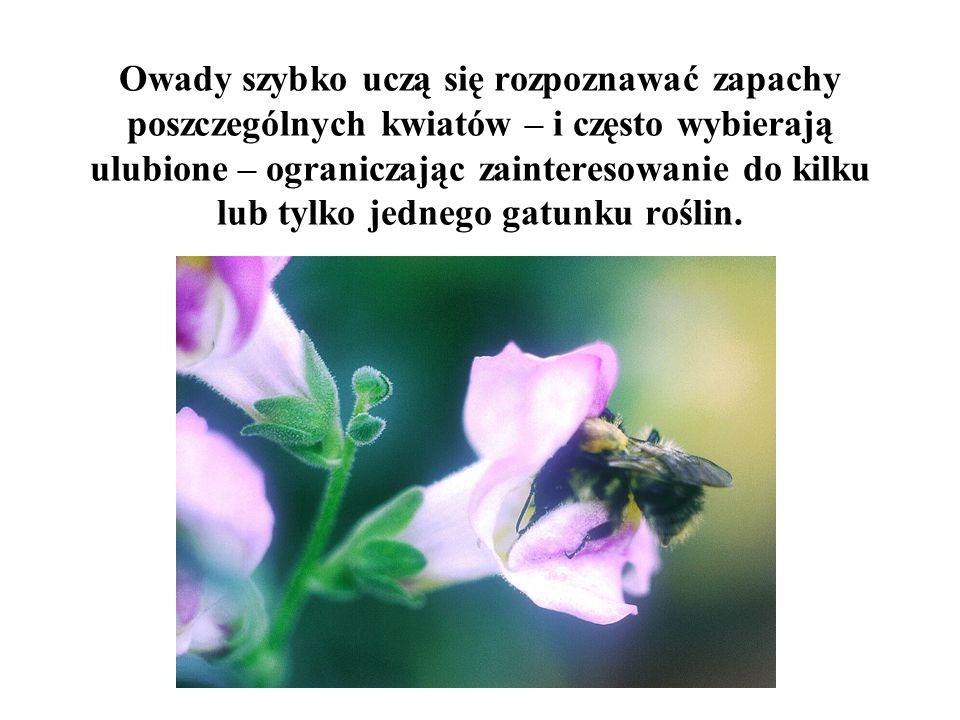 Owady szybko uczą się rozpoznawać zapachy poszczególnych kwiatów – i często wybierają ulubione – ograniczając zainteresowanie do kilku lub tylko jedne