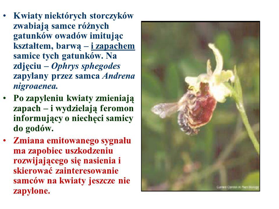 Kwiaty niektórych storczyków zwabiają samce różnych gatunków owadów imitując kształtem, barwą – i zapachem samice tych gatunków. Na zdjęciu – Ophrys s