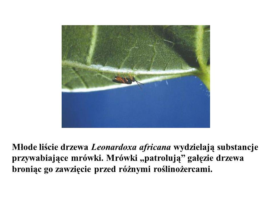 """Młode liście drzewa Leonardoxa africana wydzielają substancje przywabiające mrówki. Mrówki """"patrolują"""" gałęzie drzewa broniąc go zawzięcie przed różny"""