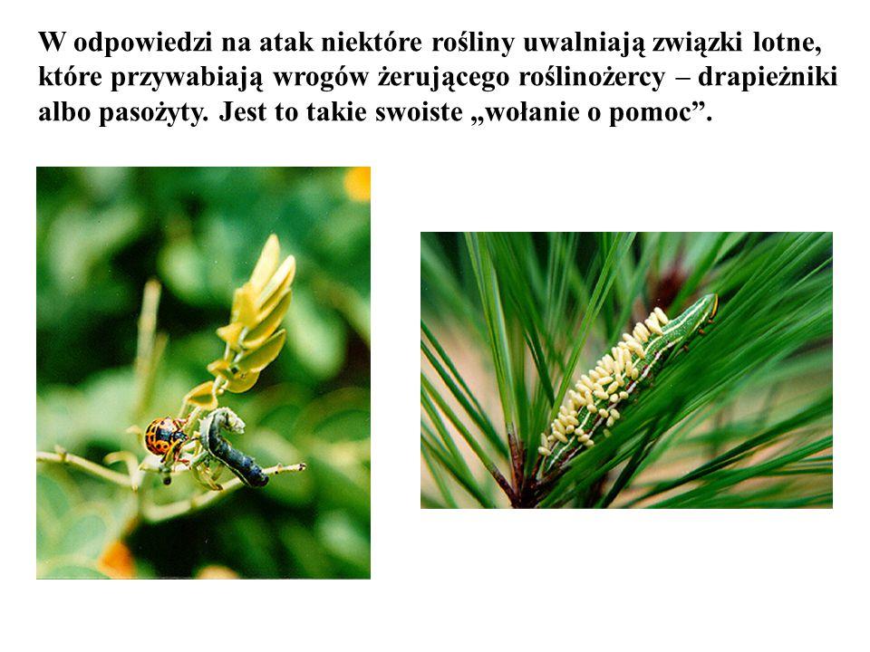 W odpowiedzi na atak niektóre rośliny uwalniają związki lotne, które przywabiają wrogów żerującego roślinożercy – drapieżniki albo pasożyty. Jest to t