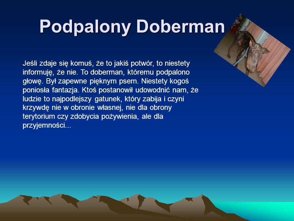 Podpalony Doberman Jeśli zdaje się komuś, że to jakiś potwór, to niestety informuję, że nie. To doberman, któremu podpalono głowę. Był zapewne pięknym