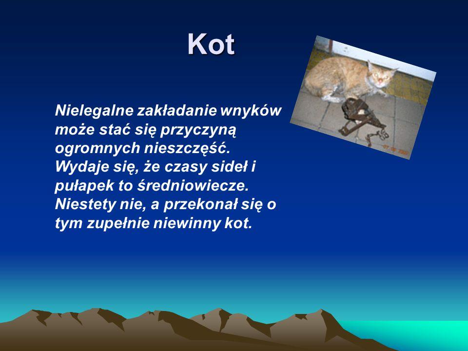 Kot Nielegalne zakładanie wnyków może stać się przyczyną ogromnych nieszczęść. Wydaje się, że czasy sideł i pułapek to średniowiecze. Niestety nie, a