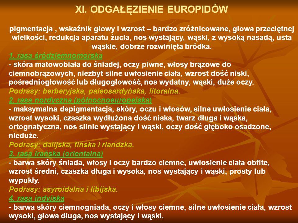 XI. ODGAŁĘZIENIE EUROPIDÓW pigmentacja, wskaźnik głowy i wzrost – bardzo zróżnicowane, głowa przeciętnej wielkości, redukcja aparatu żucia, nos wystaj