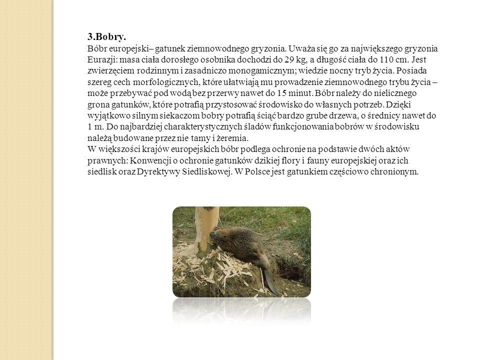 3.Bobry.Bóbr europejski– gatunek ziemnowodnego gryzonia.