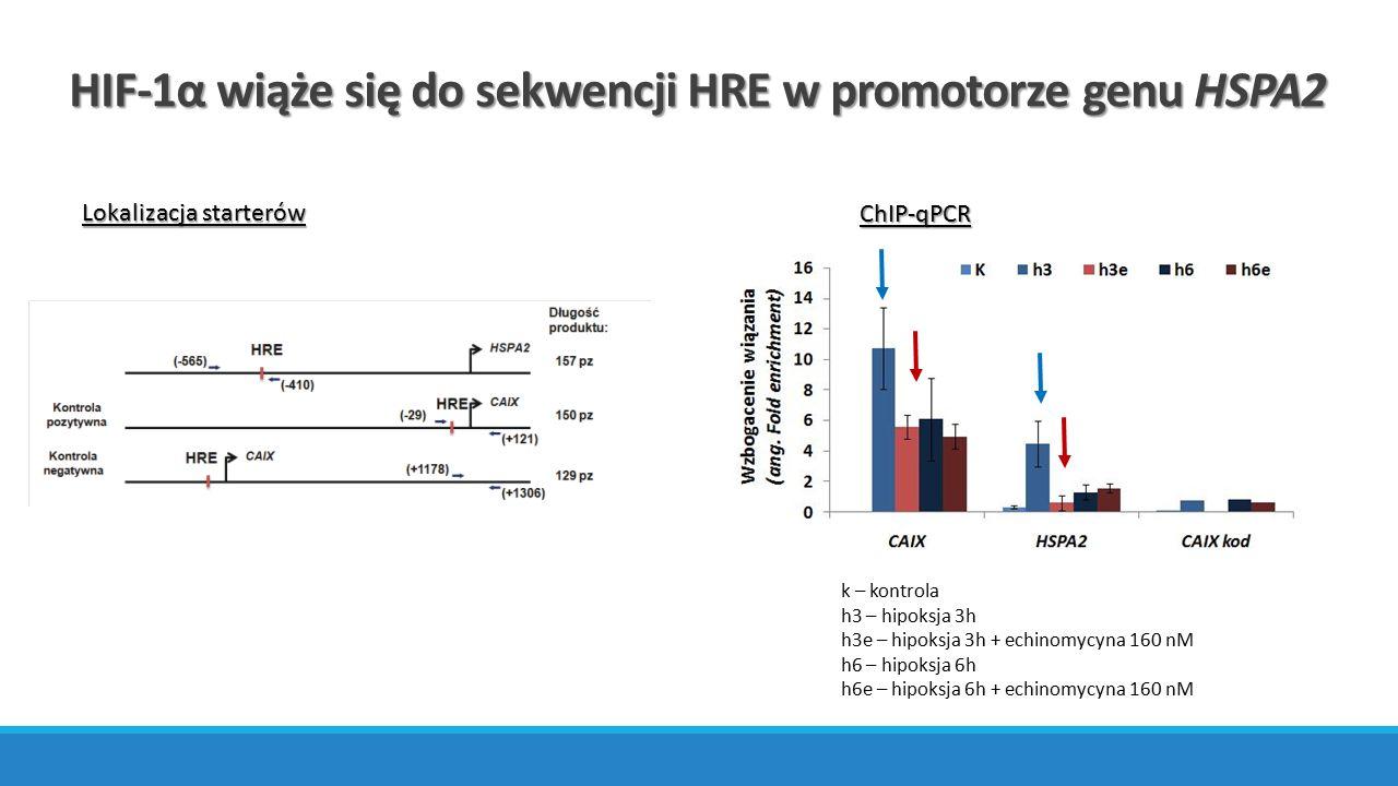 ChIP-qPCR HIF-1α wiąże się do sekwencji HRE w promotorze genu HSPA2 Lokalizacja starterów k – kontrola h3 – hipoksja 3h h3e – hipoksja 3h + echinomycy