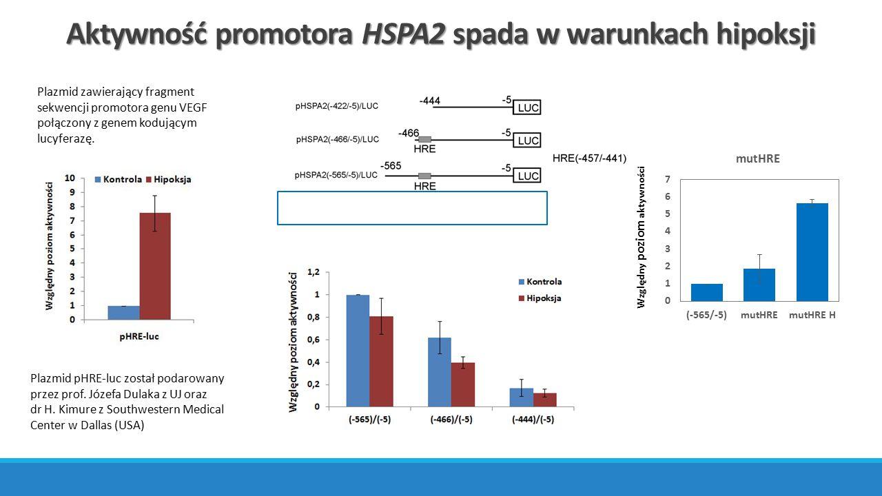 Aktywność promotora HSPA2 spada w warunkach hipoksji Względny poziom aktywności Plazmid pHRE-luc został podarowany przez prof. Józefa Dulaka z UJ oraz