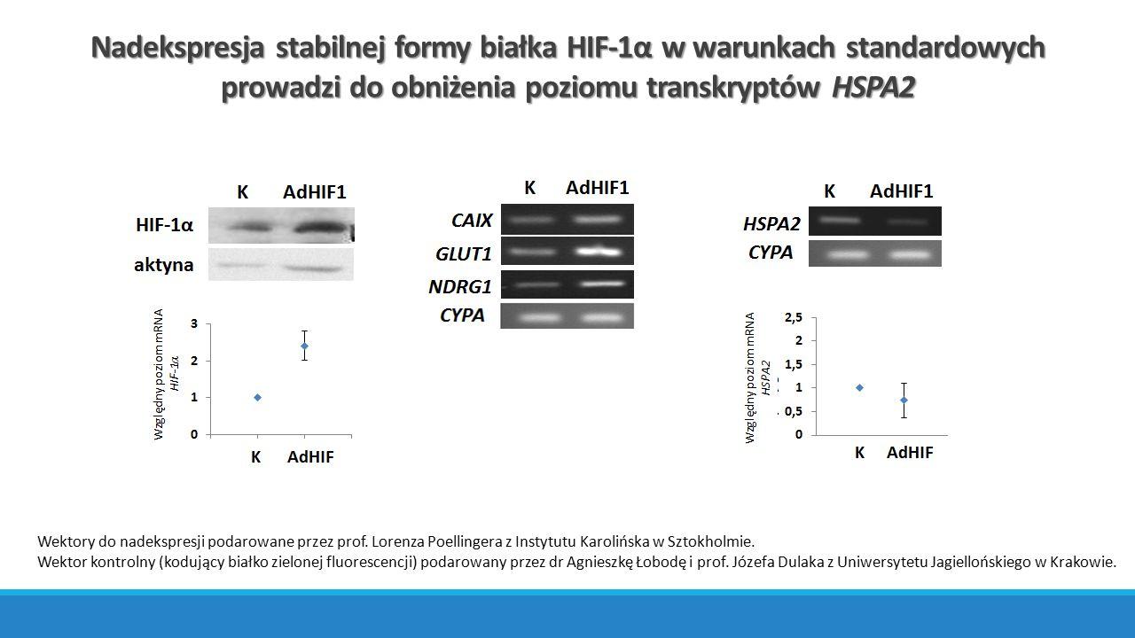 Nadekspresja stabilnej formy białka HIF-1α w warunkach standardowych prowadzi do obniżenia poziomu transkryptów HSPA2 Wektory do nadekspresji podarowa