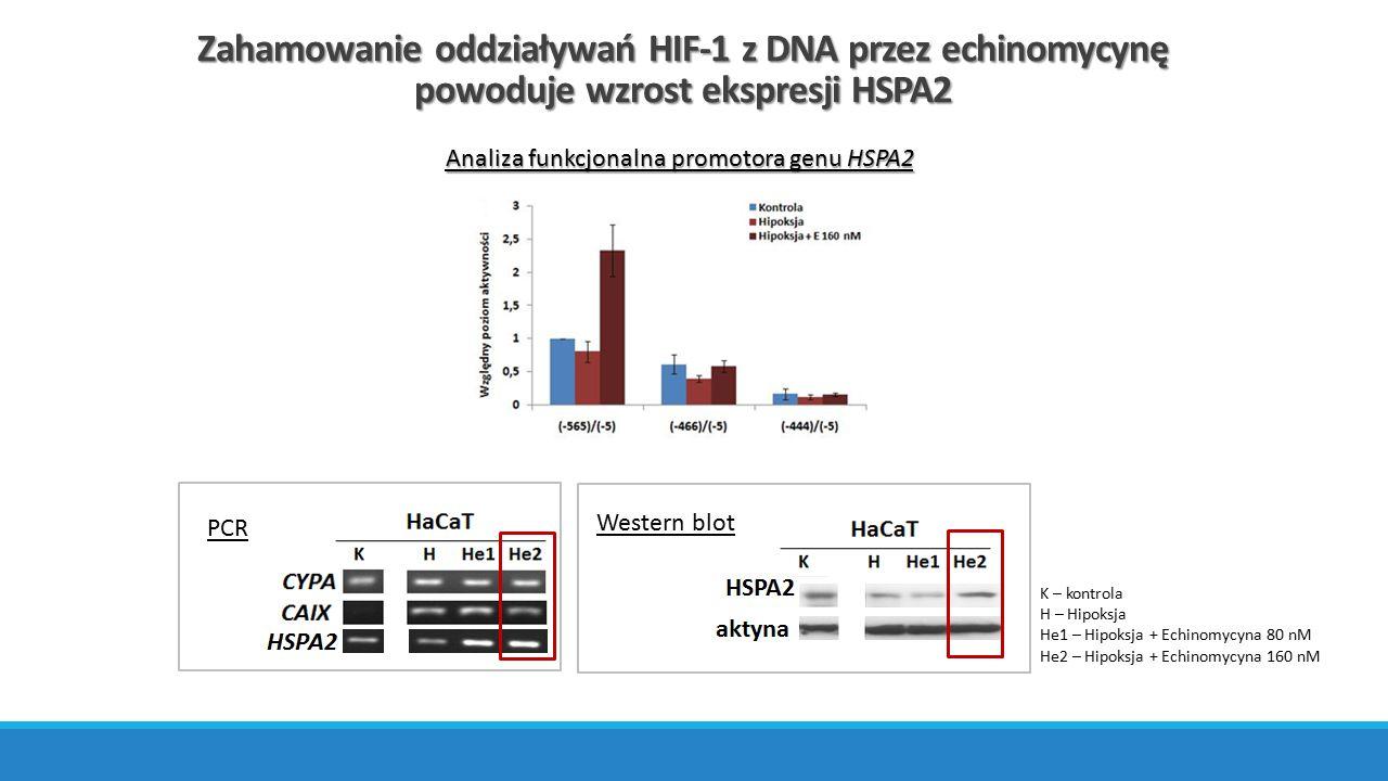 Zahamowanie oddziaływań HIF-1 z DNA przez echinomycynę powoduje wzrost ekspresji HSPA2 Analiza funkcjonalna promotora genu HSPA2 PCR Western blot K –