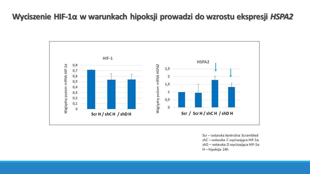 Wyciszenie HIF-1α w warunkach hipoksji prowadzi do wzrostu ekspresji HSPA2 Względny poziom mRNA HSPA2Względny poziom mRNA HIF-1α Scr / Scr H / shC H /