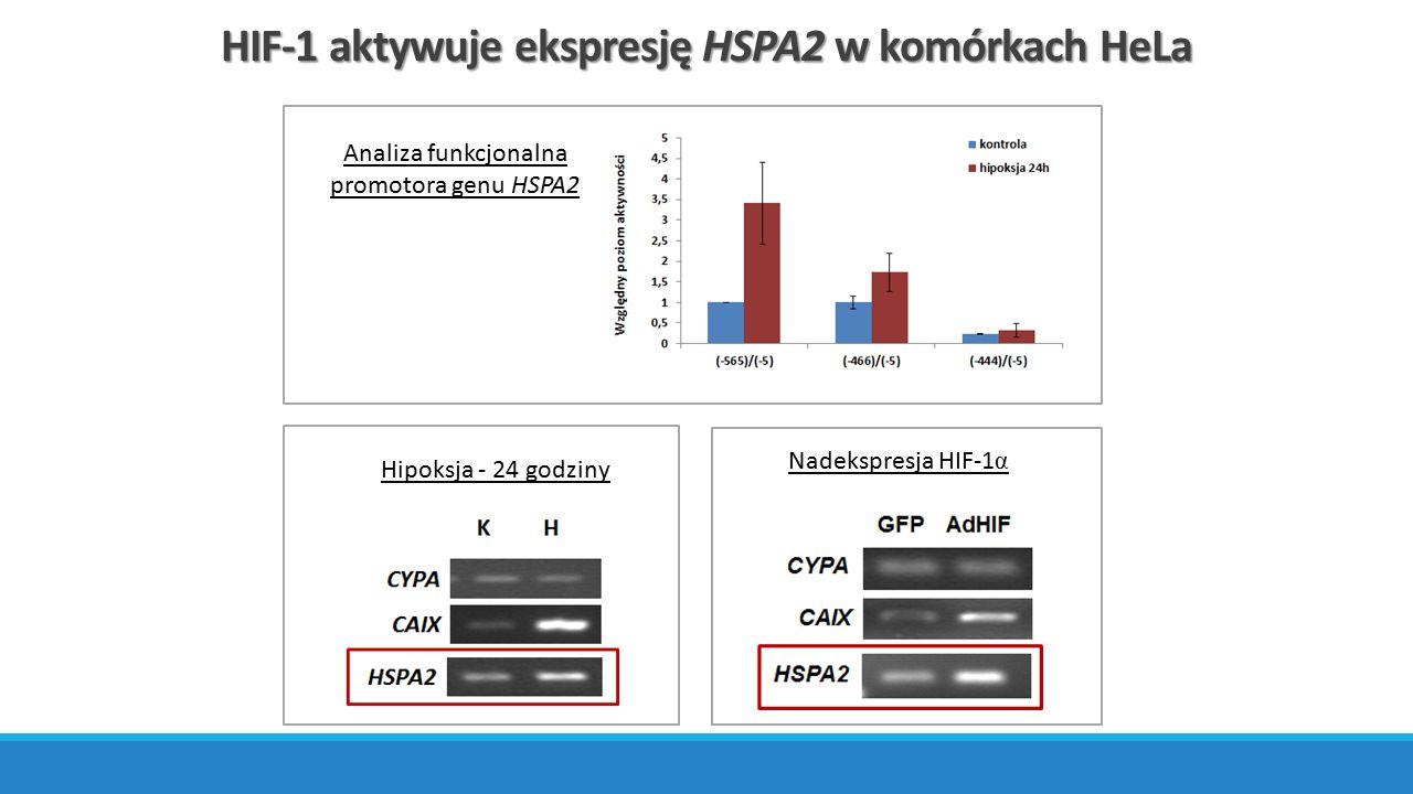 HIF-1 aktywuje ekspresję HSPA2 w komórkach HeLa Analiza funkcjonalna promotora genu HSPA2 Hipoksja - 24 godziny Nadekspresja HIF-1 α