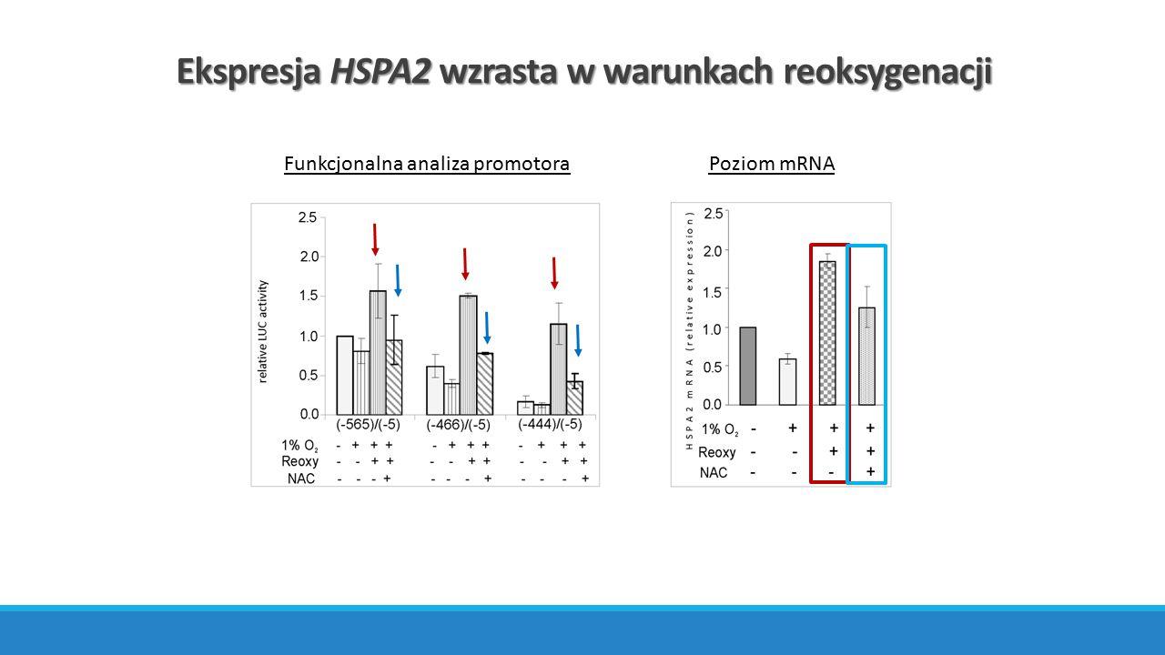 Poziom mRNAFunkcjonalna analiza promotora Ekspresja HSPA2 wzrasta w warunkach reoksygenacji